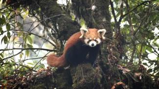Red Panda Expedition Singalila Safari