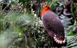 satyr tragopan best bird photography<img src=