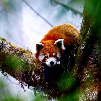baby red panda expedition singalila national park tour