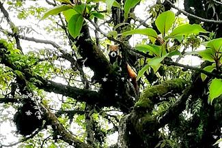 cute red panda expedition red panda tour singalila